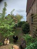 Schön Platz für Hühner